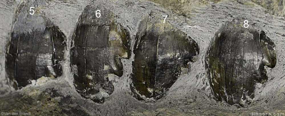 Embrithosaurus schwarzi