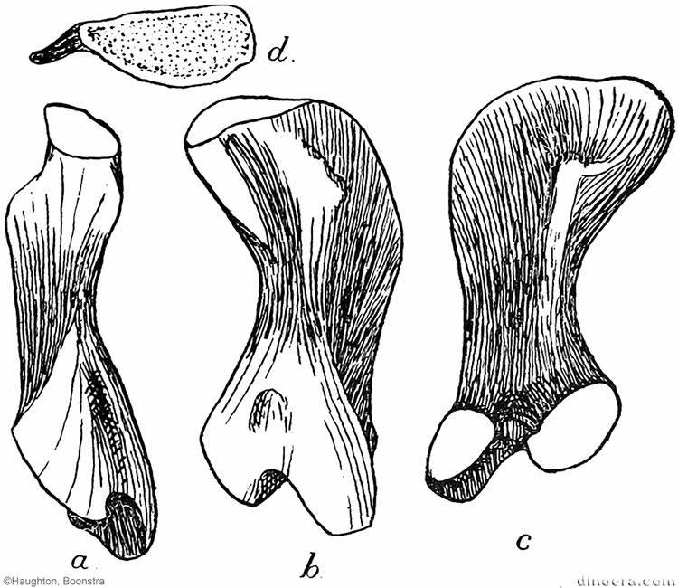 Pareiasuchus peringueyi