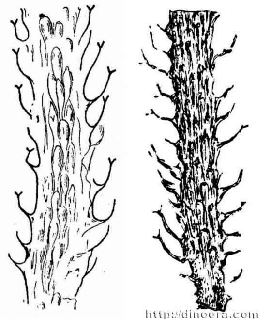 Protolepidodendron