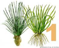 Isoetaceae 1