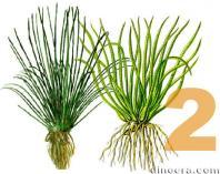 Isoetaceae 2